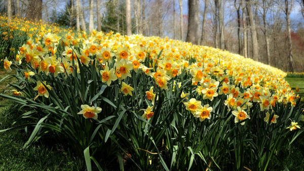 Photograph - Daffodils By The Dozens by George Taylor