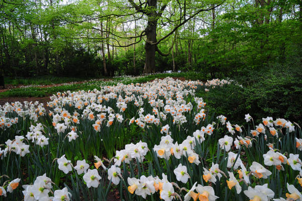 Queens Birthday Photograph - Daffodils Display. Keukenhof Botanical Garden. Netherlands by Jenny Rainbow