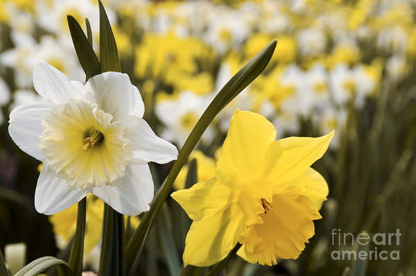 Wall Art - Photograph - Daffodils Flowering by Elena Elisseeva