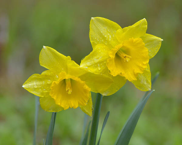 Photograph - Daffodils  by Ken Stampfer