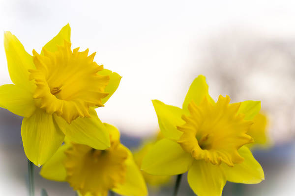 Photograph - Daffodils by Larry McMahon