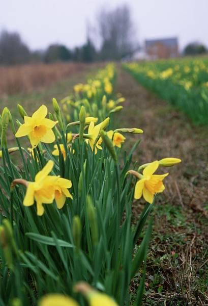 Row Crops Photograph - Daffodils (narcissus 'charlton') by Rachel Warne/science Photo Library