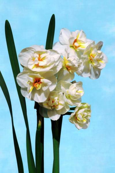 Sir Photograph - Daffodils (narcissus 'sir Winston Churchi by Brian Gadsby/science Photo Library