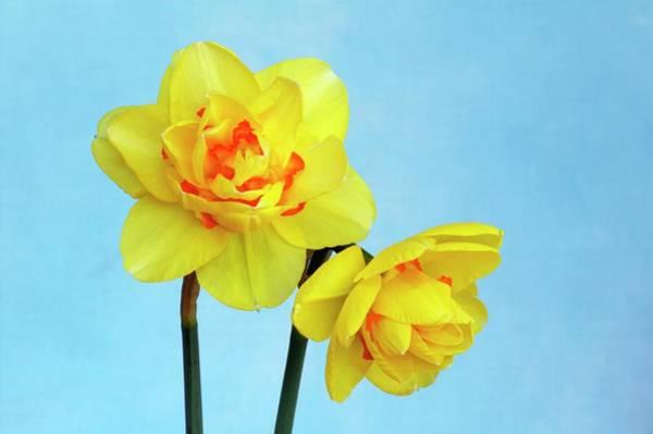 Tahiti Wall Art - Photograph - Daffodils (narcissus 'tahiti') by Brian Gadsby/science Photo Library