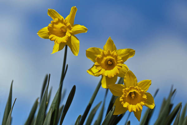 Photograph - Daffodils On A Hillside by Jerry Gammon