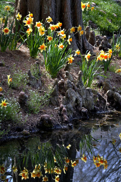 Photograph - Daffodil's Reflections by George Taylor
