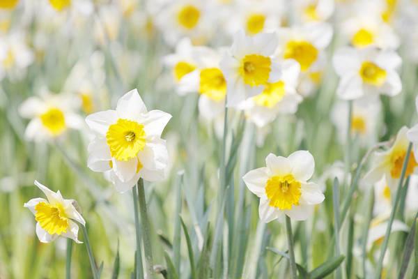 Dafodil Photograph - Daffodils by Steve Ball