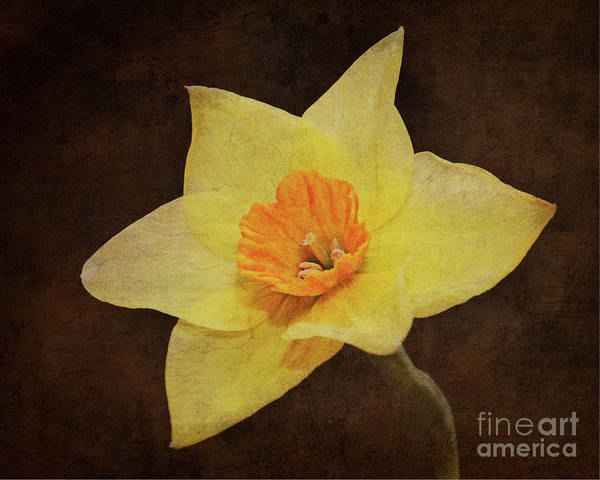 Photograph - Daffy's Edge by Andee Design
