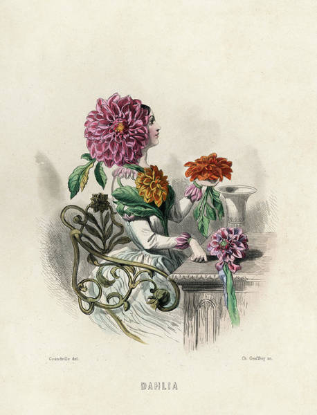 Wall Art - Drawing - Dahlia          Date 1847 by Mary Evans Picture Library