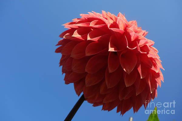 Photograph - Dahlia #2 by Jacqueline Athmann