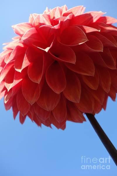 Photograph - Dahlia #3 by Jacqueline Athmann