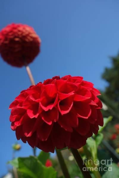 Photograph - Dahlia #4 by Jacqueline Athmann