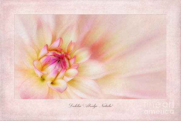 Dahlias Photograph - Dahlia Abridge Natalie by John Edwards