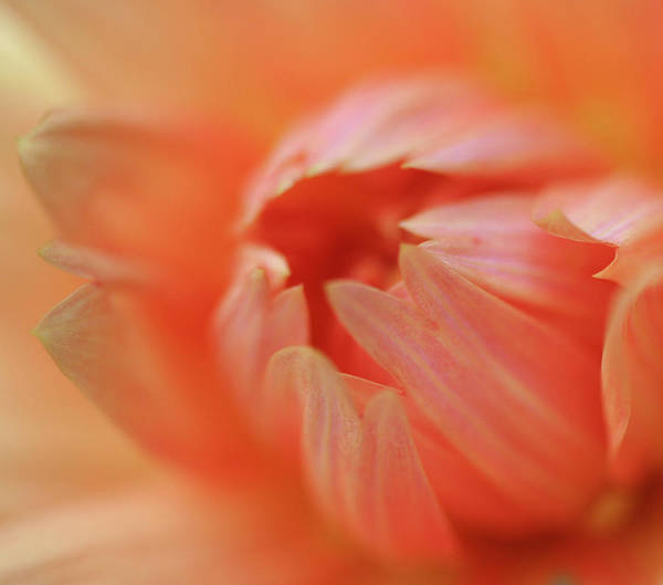 Anna Photograph - Dahlia Abstract by Anna Miller