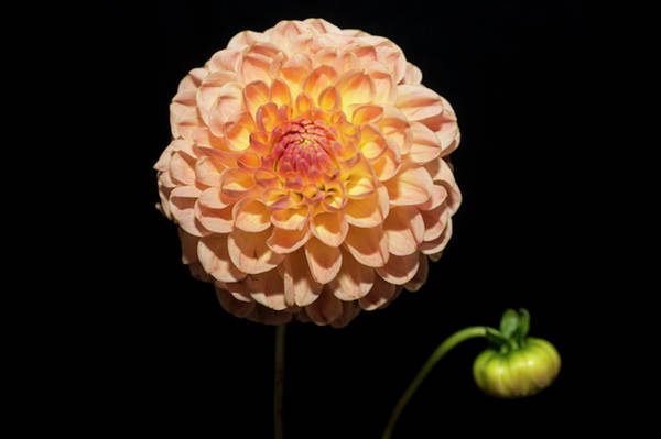 Coral Photograph - Dahlia Against Black Background by Mike Hill