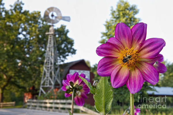 Bonneyville Mill Wall Art - Photograph - Dahlia Bee And Windmill by David Arment