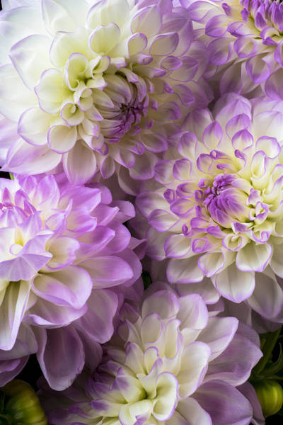 Softly Photograph - Dahlia Bouquet  by Garry Gay