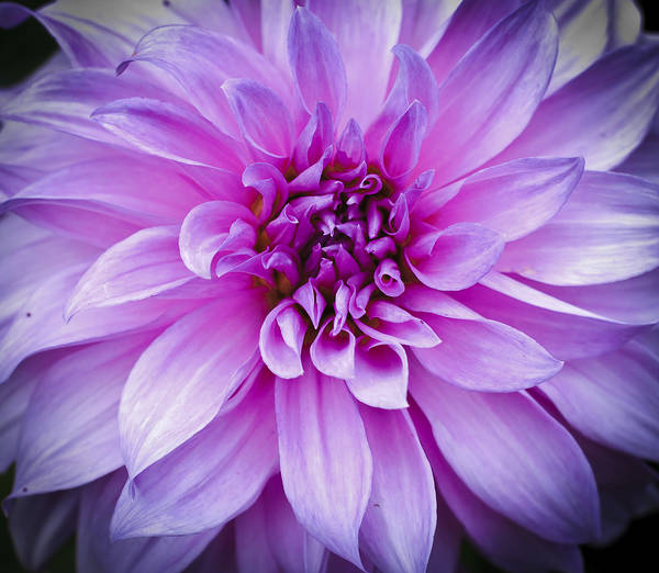 Photograph - Dahlia Dahling by Christi Kraft