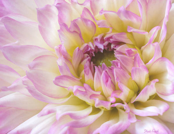 Wall Art - Photograph - Dahlia Delight by Heidi Smith