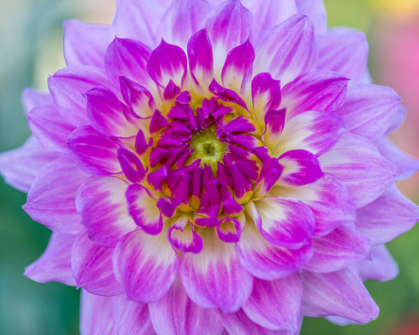 Photograph - Dahlia Delight by Paul Johnson