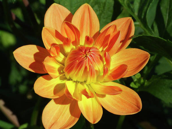 Charlie Photograph - Dahlia Flower (dahlia 'charlie Dimmock') by Ian Gowland/science Photo Library