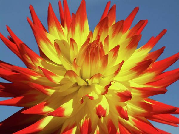 Perennial Photograph - Dahlia Flower (dahlia 'kenora Sunset') by Ian Gowland/science Photo Library