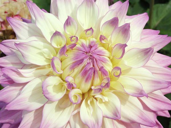 Sir Photograph - Dahlia Flower (dahlia 'sir Alf Ramsey') by Ian Gowland/science Photo Library