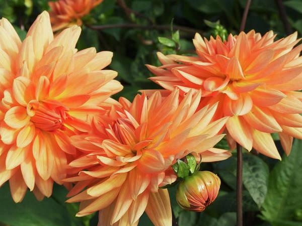 Perennial Photograph - Dahlia Flowers (dahlia 'shandy') by Ian Gowland/science Photo Library