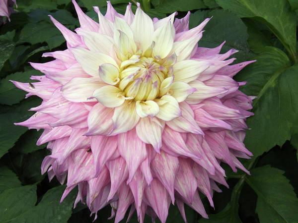 Sir Photograph - Dahlia Flowers (dahlia 'sir Alf Ramsey') by Ian Gowland/science Photo Library