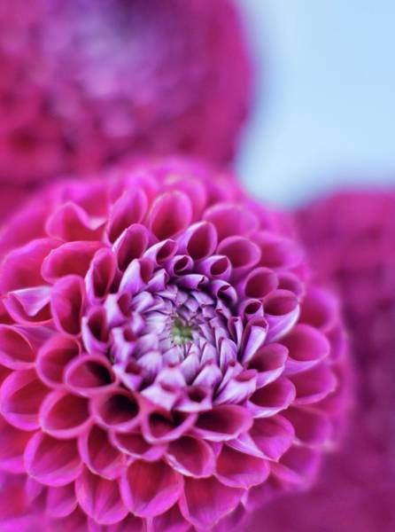 Perennial Photograph - Dahlia Flowers by Ian Hooton/science Photo Library