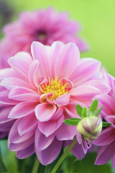 Asteraceae Wall Art - Photograph - Dahlia Flowers by Maria Mosolova/science Photo Library