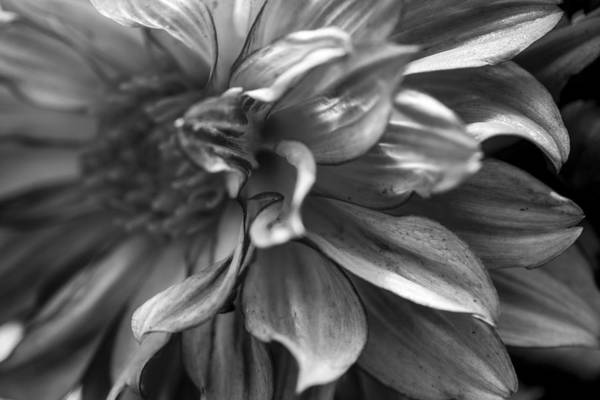 Photograph - Dahlia In Black And White by Fran Riley