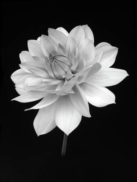 Plant Photograph - Dahlia In Gentle Shades Of Grey by Rosemary Calvert