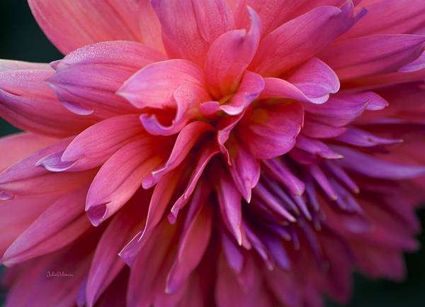 Photograph - Dahlia In Pink by Julie Palencia