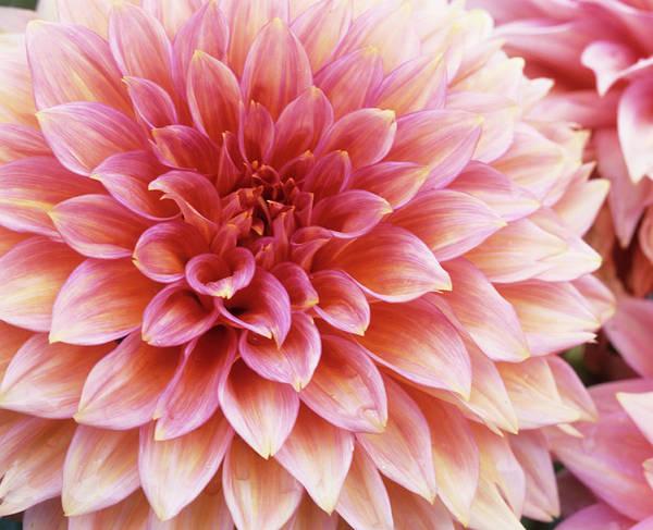 Jennie Photograph - Dahlia 'jennie' Flower by Andrew Cowin/science Photo Library