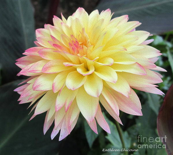 Photograph - Dahlia by Kathie Chicoine