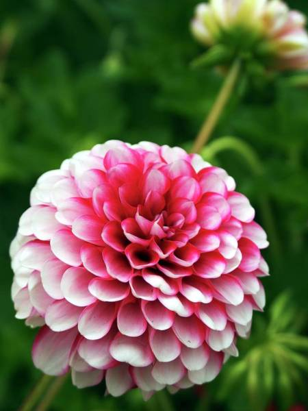 Asteraceae Wall Art - Photograph - Dahlia Little William (pompom) Close-up by Ian Gowland/science Photo Library