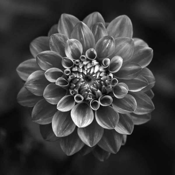 Photograph - Dahlia by Marc Huebner