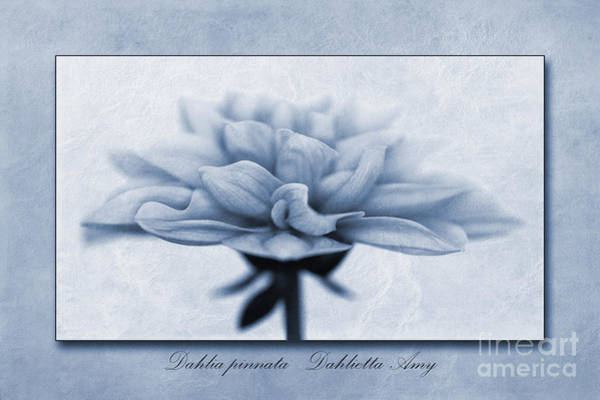 Wall Art - Photograph - Dahlia Pinnata Cyanotype by John Edwards
