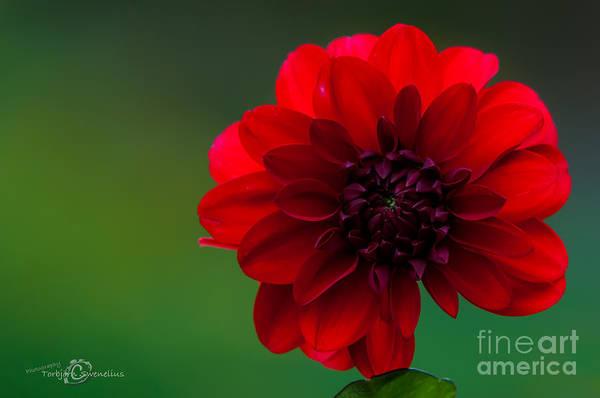 Photograph - Dahlia Red by Torbjorn Swenelius