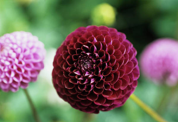 Wall Art - Photograph - Dahlia 'rocco' by Ian Gowland/science Photo Library