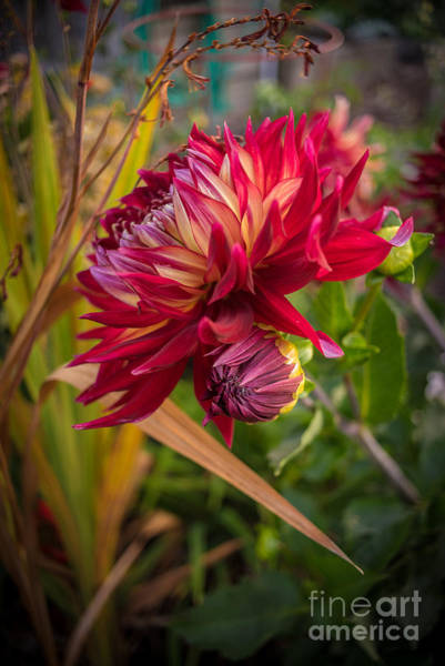 Dahlias Photograph - Dahlia Rouge by Mike Reid