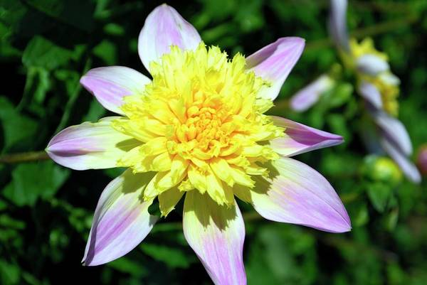 Bicolour Photograph - Dahlia 'ryecroft Marge' by Ian Gowland/science Photo Library