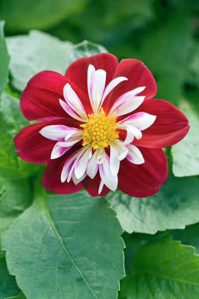 Burgundy Photograph - Dahlia 'starsister Burgundy And White' by Geoff Kidd/science Photo Library