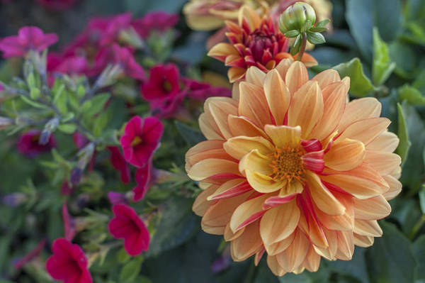 Photograph - Dahlia by Terry DeLuco