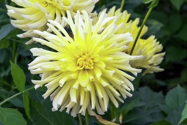 Happiness Photograph - Dahlia 'yellow Happiness' by Adrian Thomas/science Photo Library