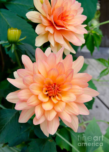 Photograph - Dahlias by Laurel Best