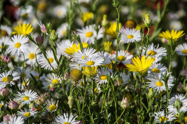 Photograph - Dainty Blossoms by Jim McCain