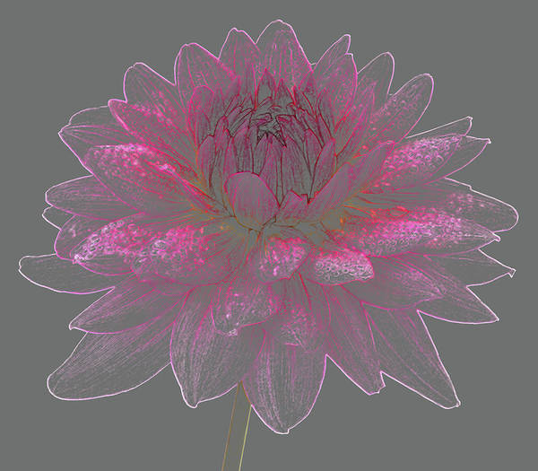 Pencil Drawing Photograph - Dainty Pink Dahlia Flower On Grey by Rosemary Calvert