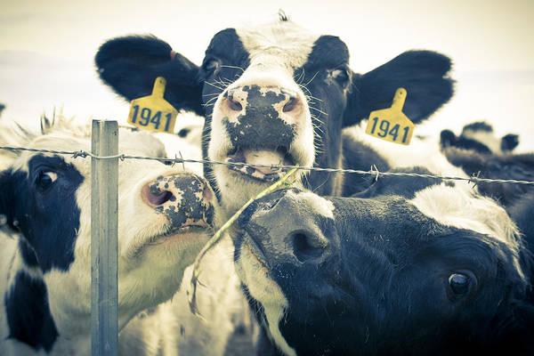 Photograph - Dairy Cow Portrait by Priya Ghose